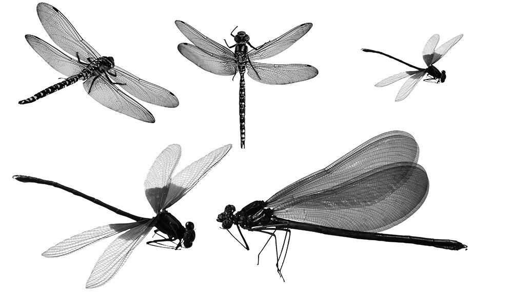15款高清晰蜻蜓PS笔刷