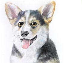 详细解析彩色铅笔画柯基犬的画法