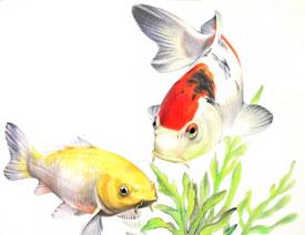 彩色铅笔画之幸运锦鲤的画法