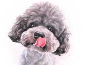 彩色铅笔画之泰迪熊犬的画法
