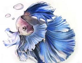 彩色铅笔画之泰国斗鱼的画法
