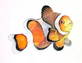 详解彩色铅笔画之小丑鱼的画法