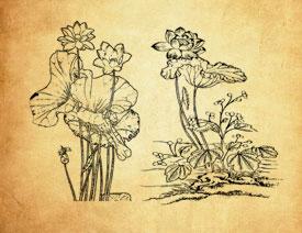 中国传统荷花和荷叶PS笔刷