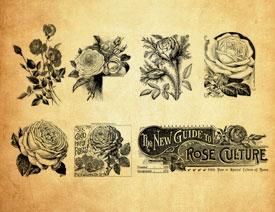 复古玫瑰花和花枝PS笔刷