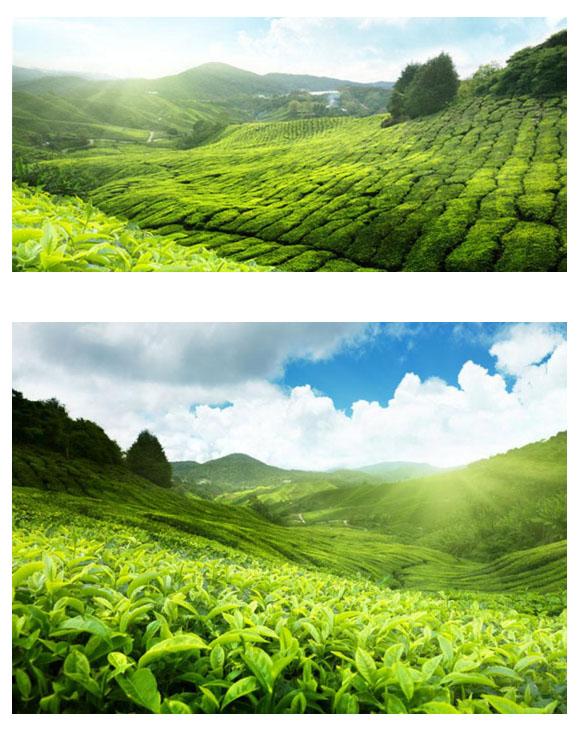 photoshop设计以大自然为主题的茶叶海报